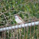 House Sparrow ♂