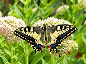 """Photo: Coucou, me voilà ! Papilio machaon ou """"Grand-porte-queue"""" Je suis né le 15.09 à 11 h 50 - Température 26° - Mon """"père"""" m'a déposé sur un bouquet de sédum spectabile. où je sèche mes ailes au soleil."""