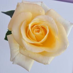 SUBTLE ROSE by Wojtylak Maria - Flowers Single Flower ( rose, june, in bloom, creamy, flower, subtle,  )