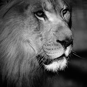 King by Teresa Daines - Black & White Animals ( lion,  )