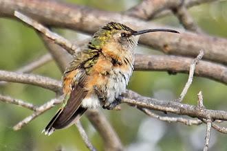 Photo: Lucifer Hummingbird (female)