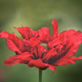 The Poppy by Amrita Bhattacharyya - Flowers Single Flower (  )