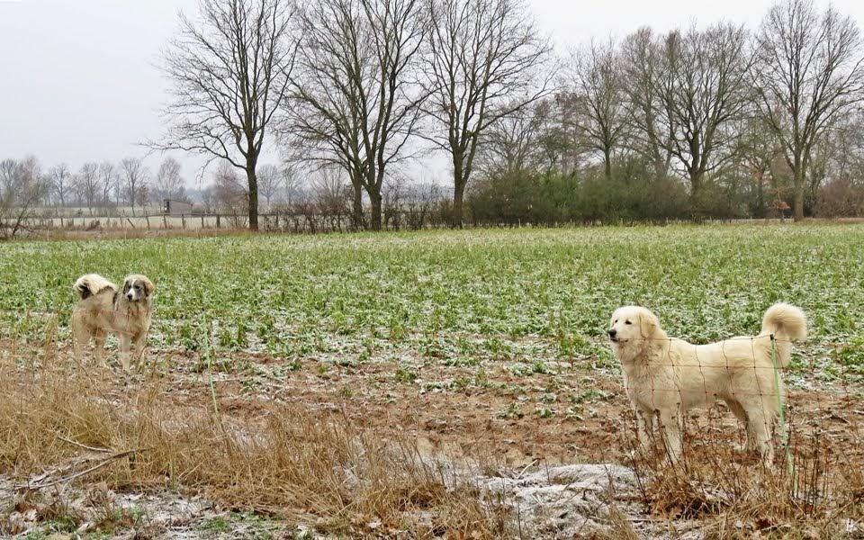 2019-02-01 LüchowSss unterwegs Herdenschutzhunde