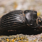 Small Black Dung Beetle