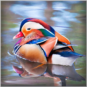 Mandarin Duck by Mark Shoesmith - Animals Birds (  )