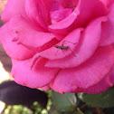 Assassin bug juvanile
