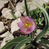 Mountain Tulip
