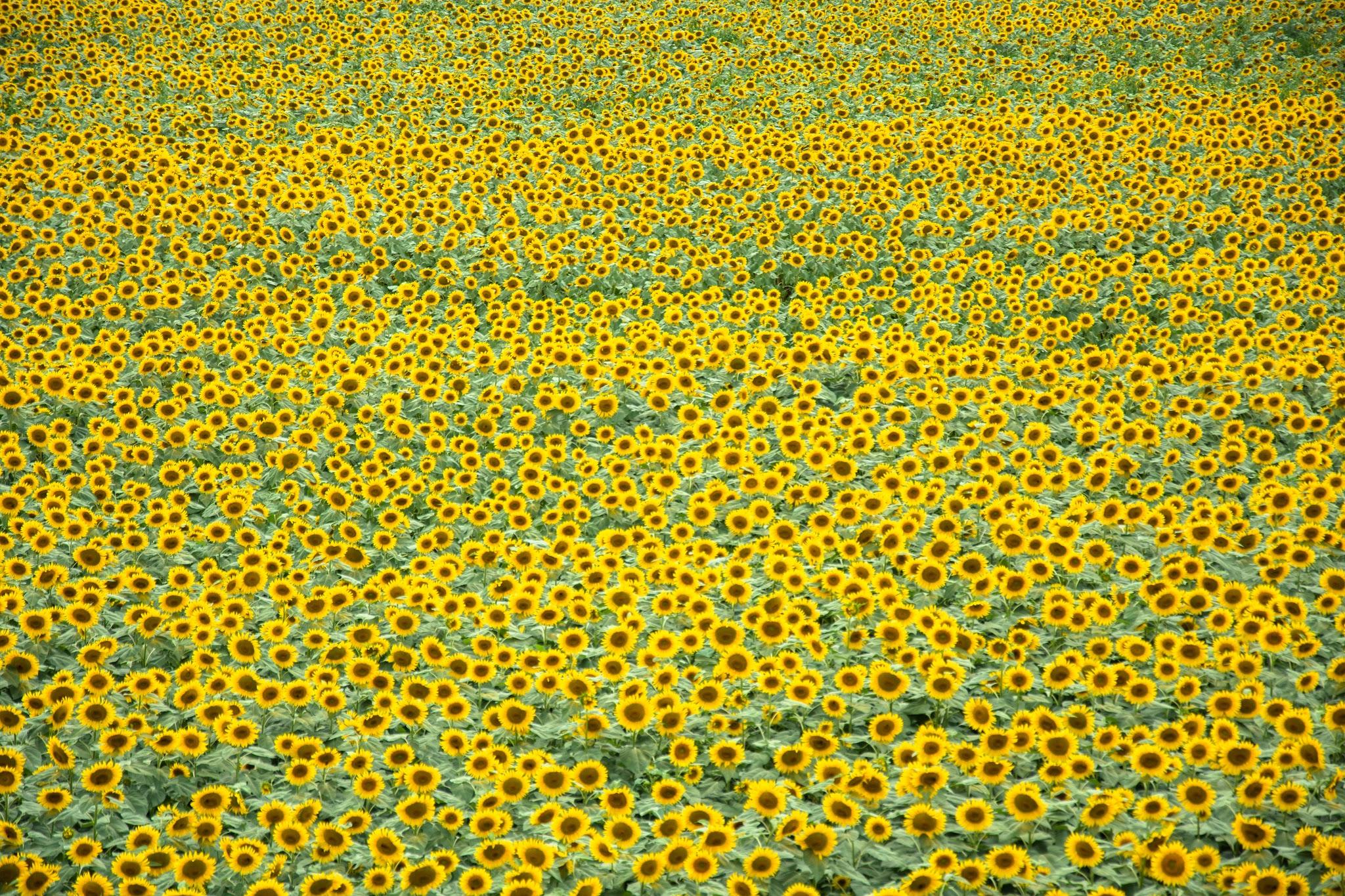 Photo: ひまわり畑 Sunflower field.  夏休みに山梨に帰ると 必ず訪れる場所 今年も少しの時間だったけど ちいさな太陽たちが 元気いっぱいに出迎えてくれた。  #akeno #yamanashi #sunflower #サンフラワーフェス2015 #cooljapan #nikon  Nikon D7200 AF-S DX NIKKOR 18-105mm f/3.5-5.6G ED VR