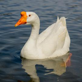 by Fabienne Lawrence - Uncategorized All Uncategorized ( anmal, feather, duck, bird, duckling )