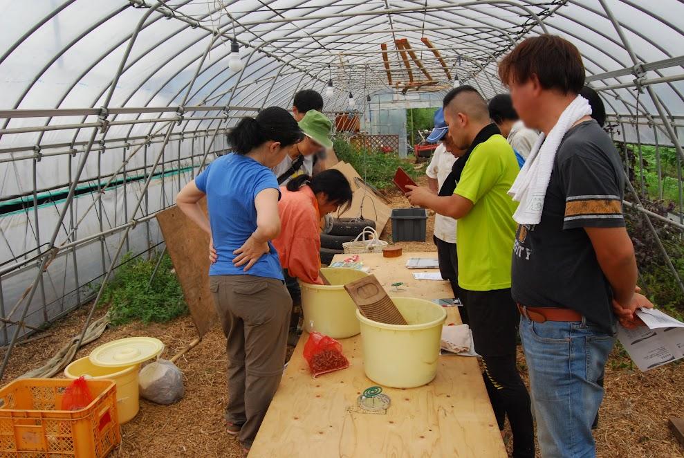 三浦大根の種採り 洗濯板でゴシゴシすると鞘が細かく砕けて種がとれます。