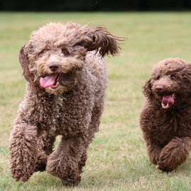 Ace & Belle by David Morrison - Animals - Dogs Running (  )