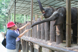 Photo: Feeding elephants at Kuala Gandah Elephant Sanctuary