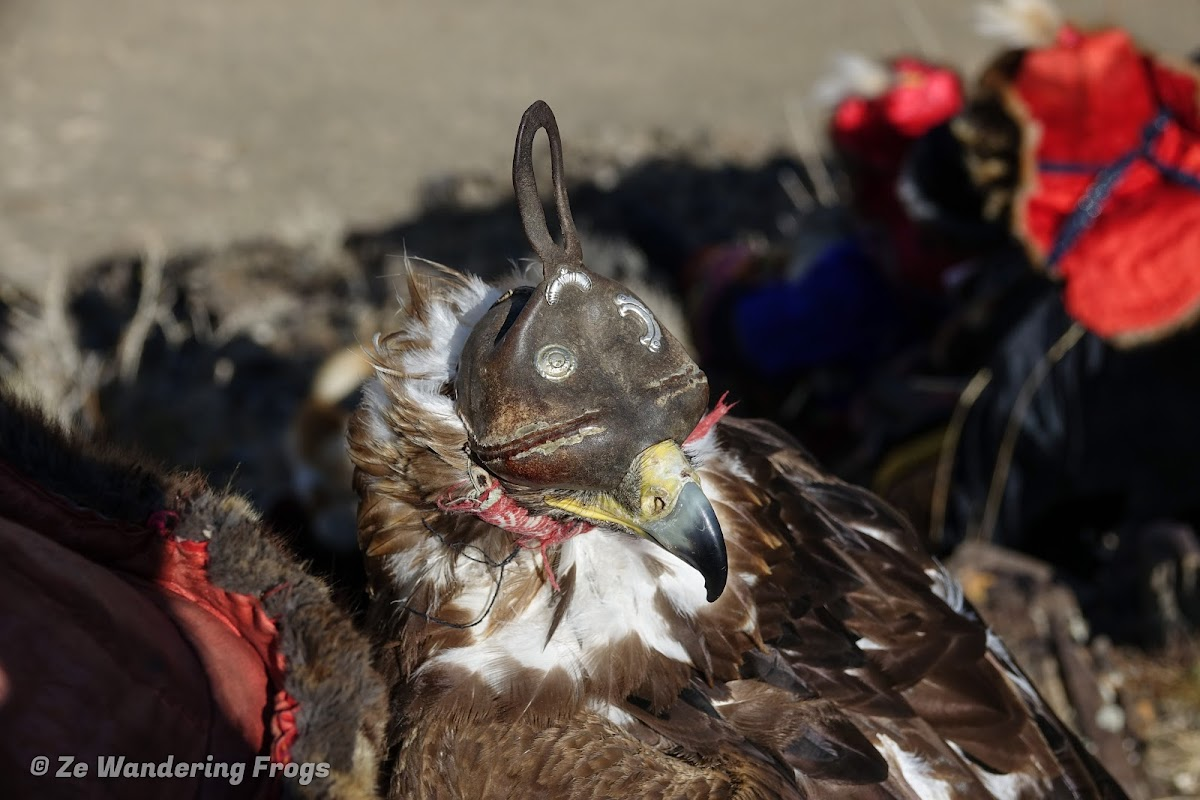 Mongolia. Golden Eagle Festival Olgii. Hooded eagle