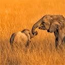 Elephant Wallpapers HD Theme