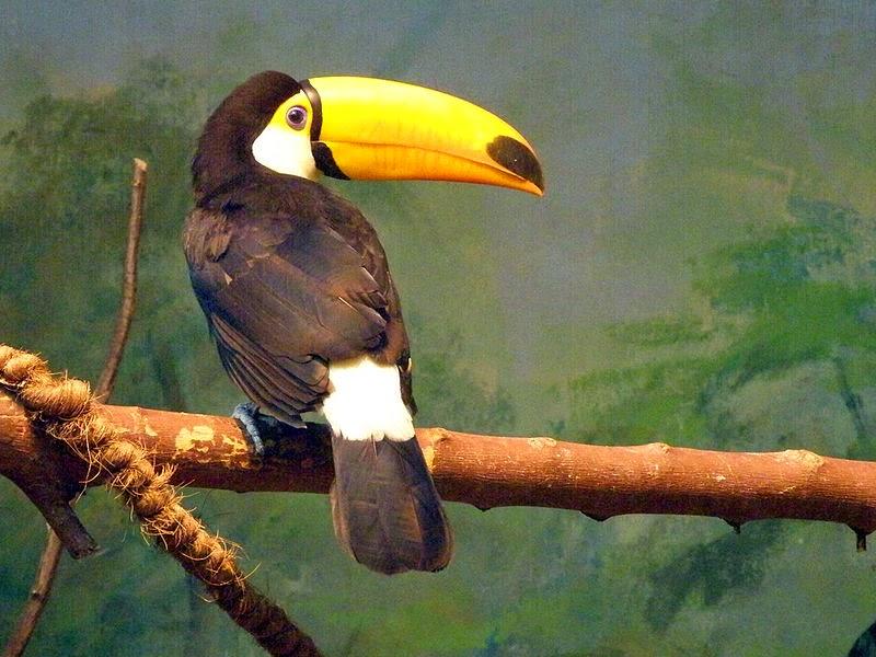 Птицы тукан широко распространены в Коста-Рике