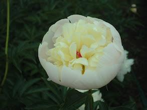 Photo: カナリーエロー 花弁が紅で外弁が薄黄白色の盛り上がり咲き