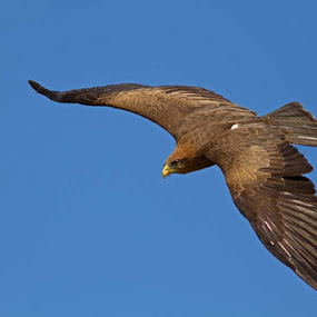 CAPTIVE Yellow Billed Kite by Louise Morris - Animals Birds ( icbp, yellow billed kite, june 2012, captive, newent )