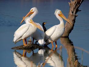Photo: Pelicans
