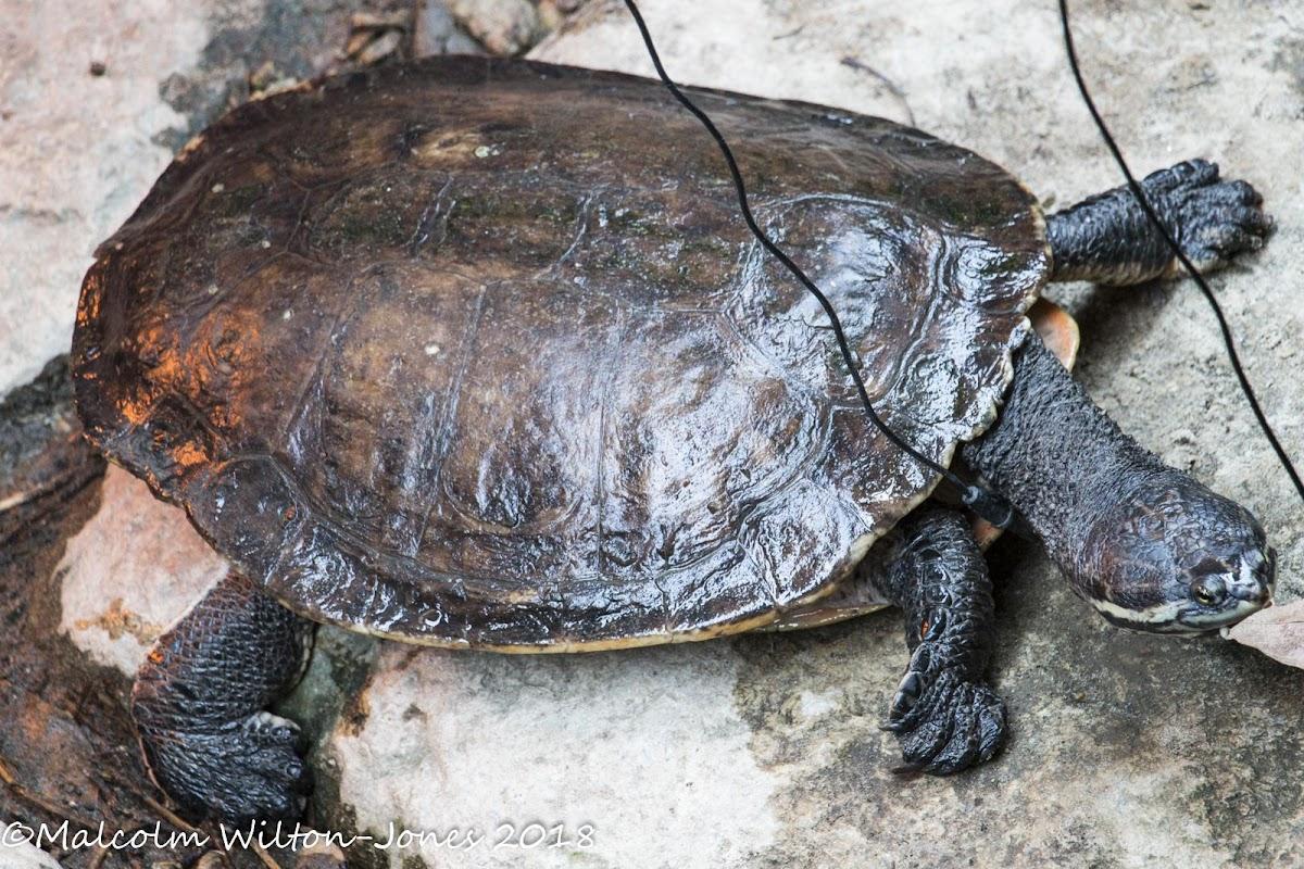 Geoffroy's Side-necked Turtle