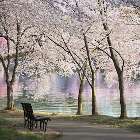 Cherry blossoms at the Tadal Basin by Mike Lennett - City,  Street & Park  City Parks ( water, cherry, reflection, park, bench, color, path, washington dc, pink, solitude, mike lennett, tidal basin, blossoms )