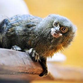 Look at me! by Graeme Carlisle - Animals Other Mammals ( wildlife, pygmy marmoset, monkey )