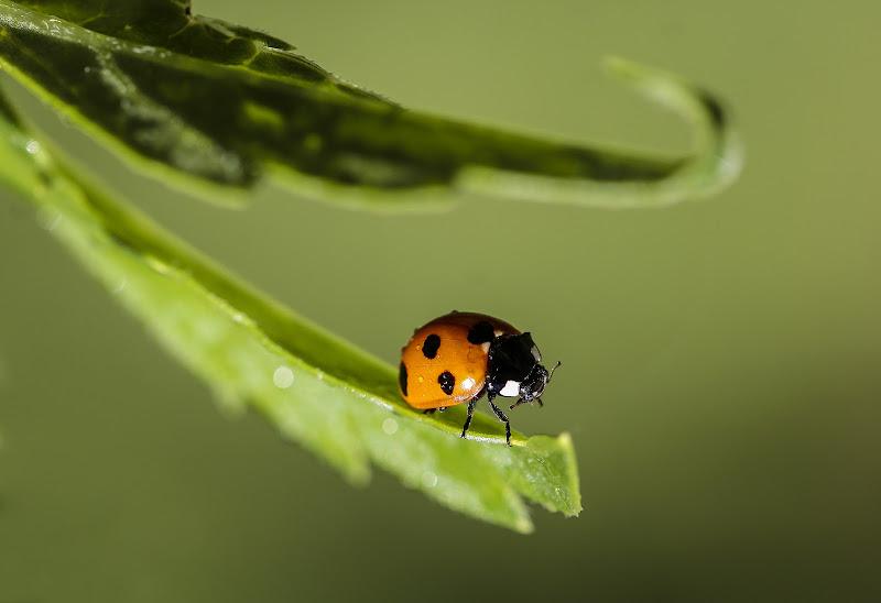 Ladybug di Pensatore