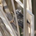 Marsh Wren (chick)