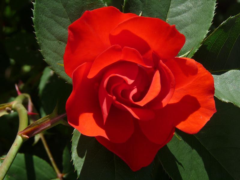 Rosarossa di angelina