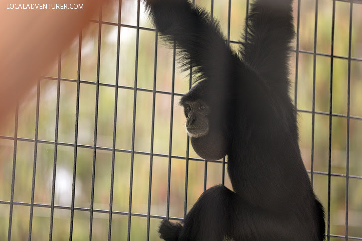 Siamang Gibbon Call.