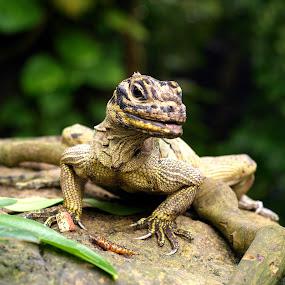 Green Iguana by Steen Hovmand Lassen - Animals Reptiles ( iguana · legs · reptile · claws · animal,  )