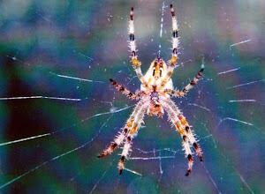 """Photo: L'Epeire fasciée """"Argiope bruennichi"""", ou """"Argiope frelon"""", vue de dessous. La morsure n'est pas dangereuse. On peut la rencontrer dans les vignes des vendanges. Mais les araignées ont une fausse et mauvaise réputation. N'est-ce pas Mesdames !"""