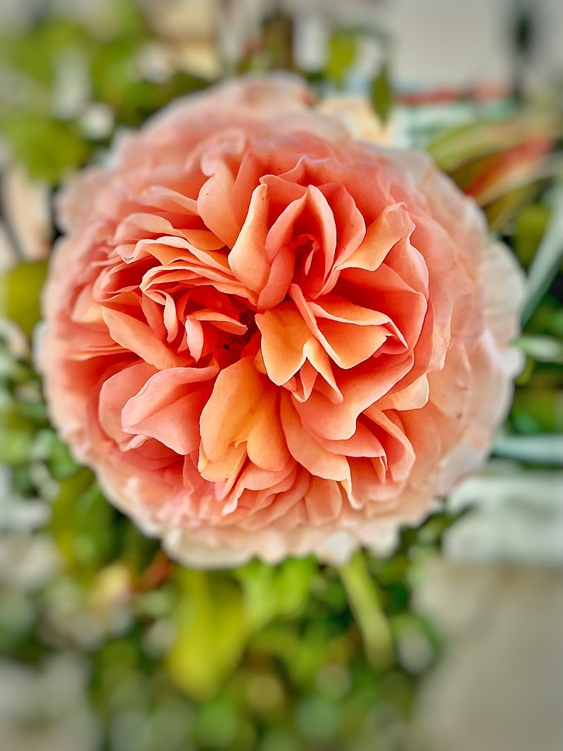 I petali soffici e delicati di una rosa inglese  di Ingles Alberti