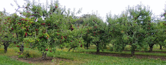 Photo: Apple Orchards