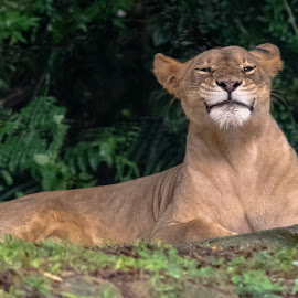 Squinting Lioness by Bert Templeton - Animals Lions, Tigers & Big Cats ( tan, green, squint, lioness, brown, lion,  )