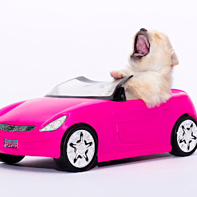 Road Trip by Kevin Kent - Animals - Dogs Puppies ( car, girl, toy, white, funny, puppy, pink, baby, dog, cute )