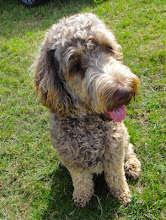 Photo: Brian Labradoodle