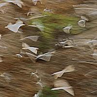 volo di colombe di amaranto21