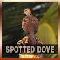 Spotted Dove Bird Song icon