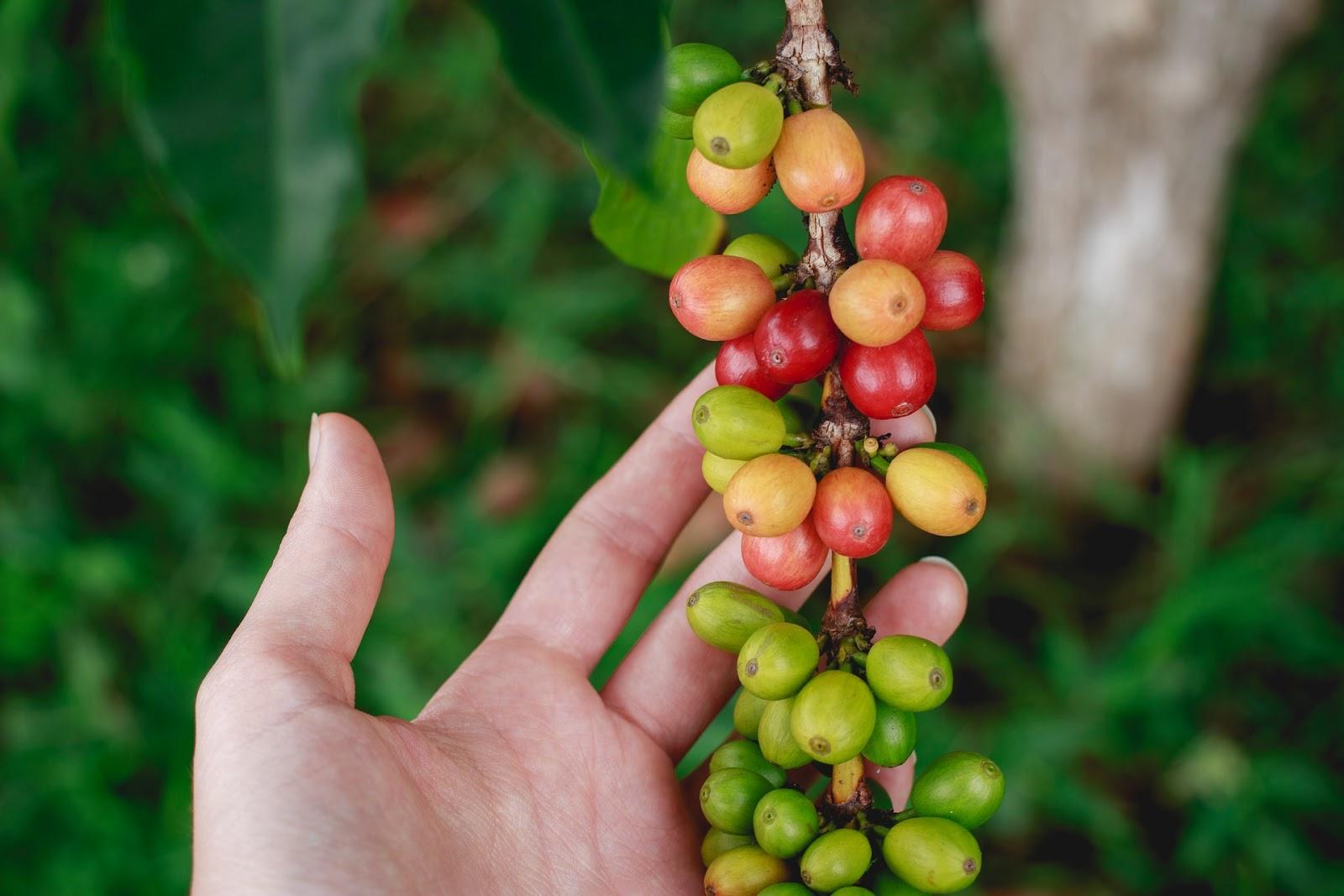 É necessário recolher o máximo possível de grãos, das plantas e do solo (Fonte: Unsplash)muda de café