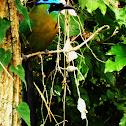 Blue-crowned Motmot