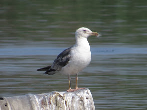 Photo: 15 Jul 13 Trench Lock Pool: There is a small amount of dark on this Lesser Black-backed Gull's bill but otherwise it looks just about a full adult. But look at the wear and bleaching in the wing! (Ed Wilson)