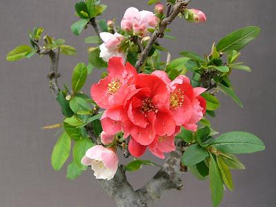 ボケ (植物)の画像 p1_1