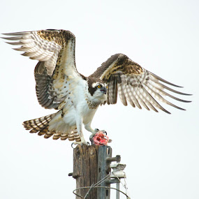 breakfast by David Ubach - Animals Birds ( pole, wings, fish, lake, morning, spread, osprey )