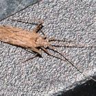 Hopper bug
