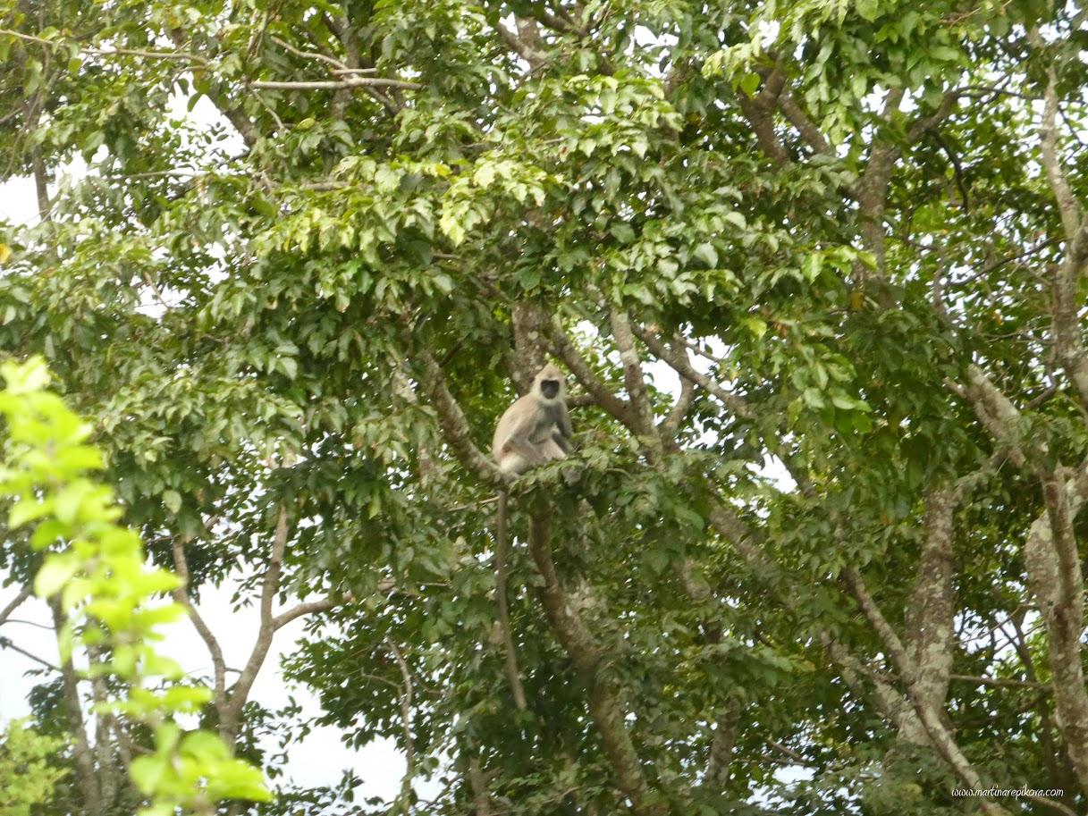 Monkey, Uda Walawe, Sri Lanka