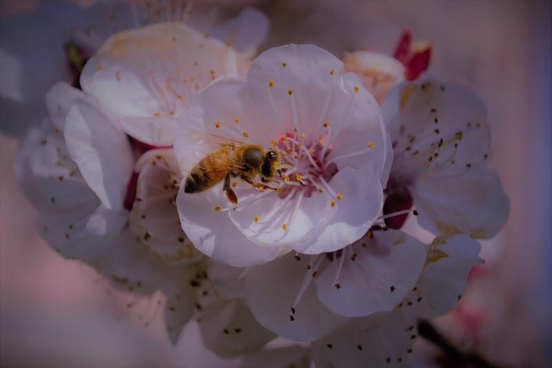 profumo di albicocca e polline di elena_magnani