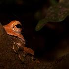 Western Tree Frog