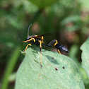 Black & Yellow Mud Dauber