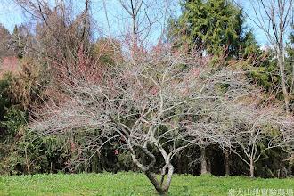 Photo: 拍攝地點: 梅峰-梅園 拍攝植物: 梅花(極光) 拍攝日期: 2014_02_18_FY