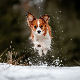 Tosca In Full Flight by Colin Harley - Animals - Dogs Running ( d750, forest, green, 70-200 f/2.8e, wet, happy, kooiker, winter, run, happy dog, eyes, cute, beautiful, ears, white, mammal, snow, grass, animal, dog, pet, earrings, jump )